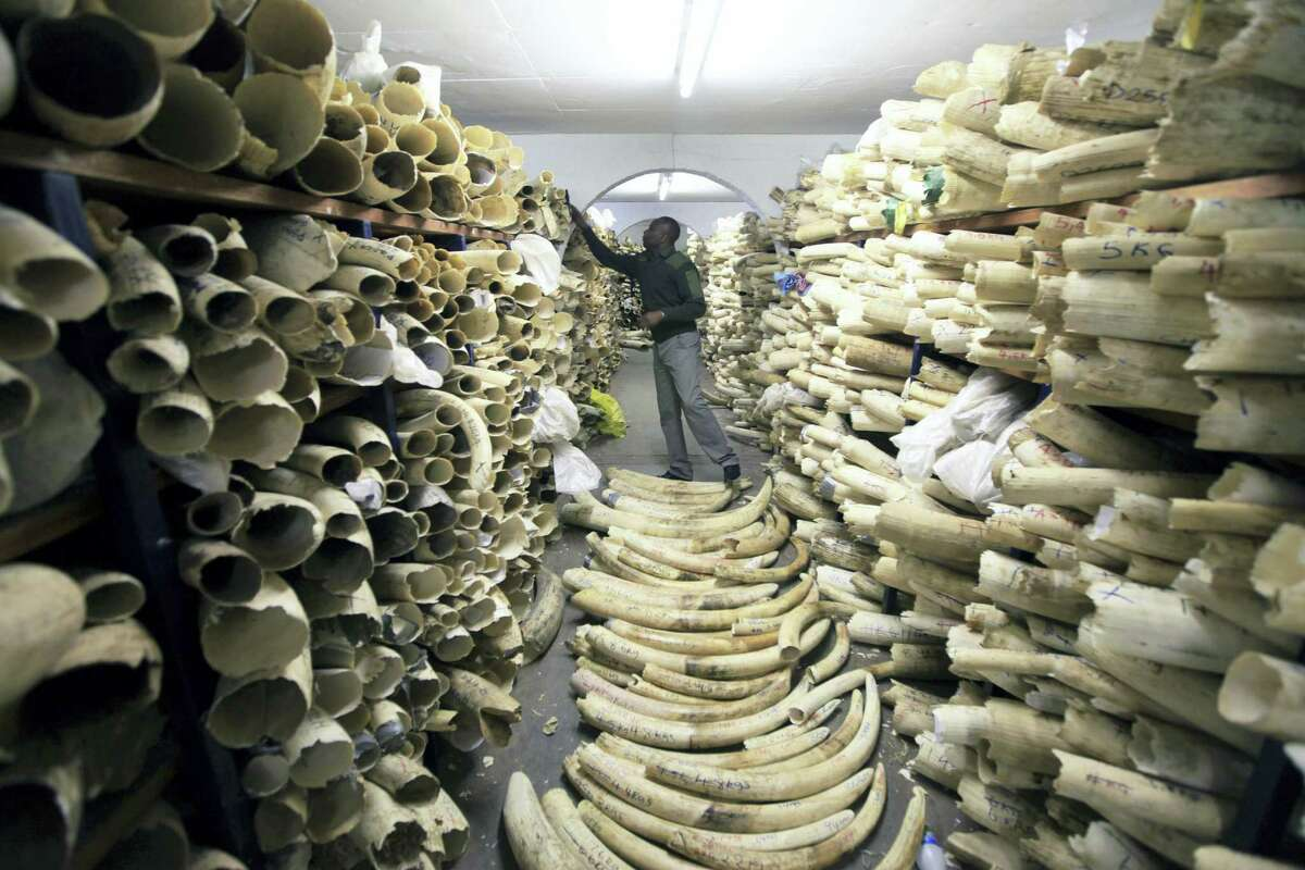 In this June 2 file photo, a Zimbabwe National Parks official inspects the stock during a tour of the country's ivory stockpile at the Zimbabwe National Parks Headquarters in Harare.
