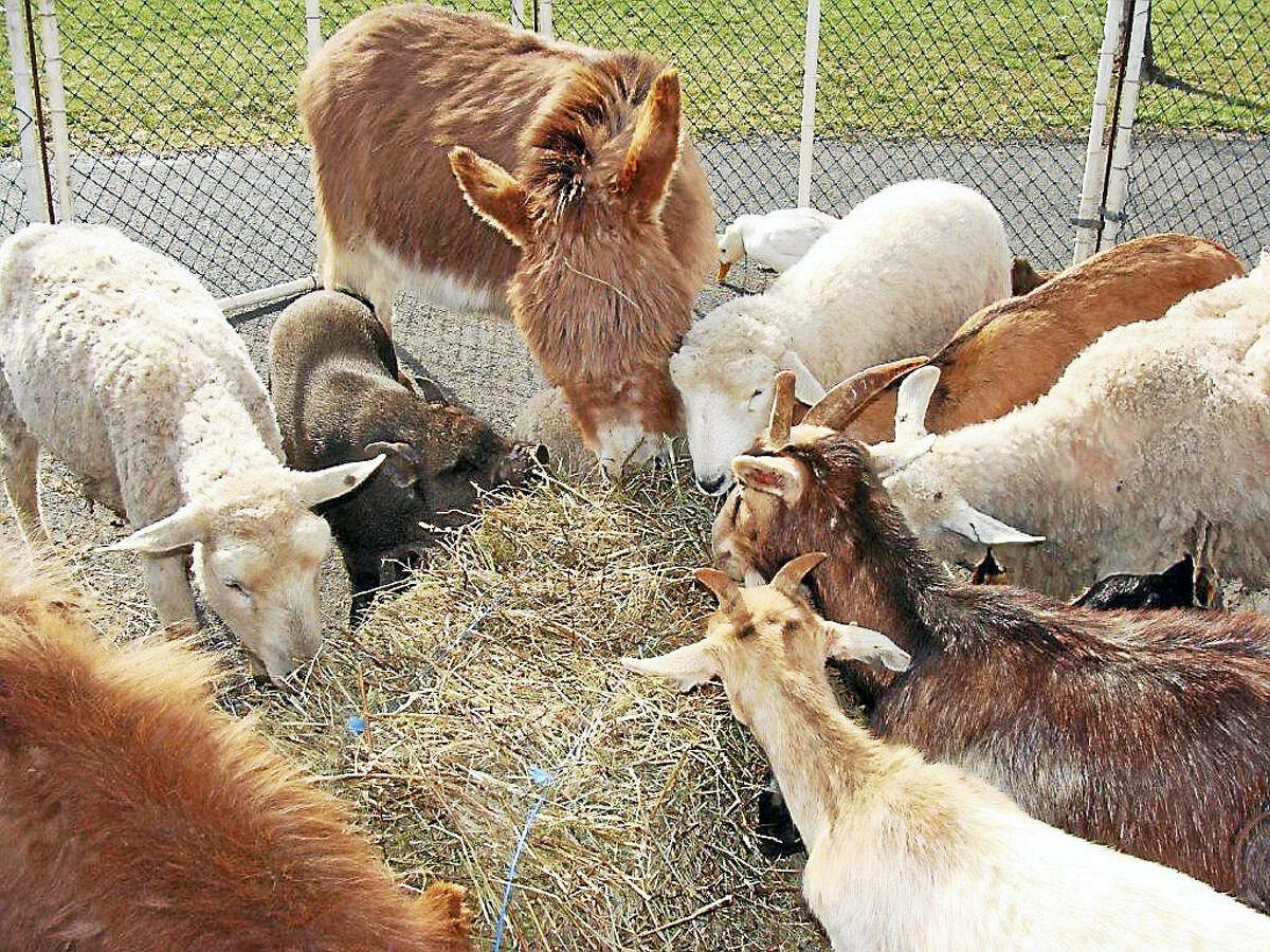 The animals run the gamut from ducks to rabbits to goats to a miniature horse.