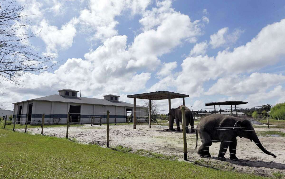 In this March 3, 2015 photo, elephants Mike, right, and Angelica walk in their pen at the Ringling Bros. and Barnum & Bailey Center for Elephant Conservation, in Polk City, Fla.