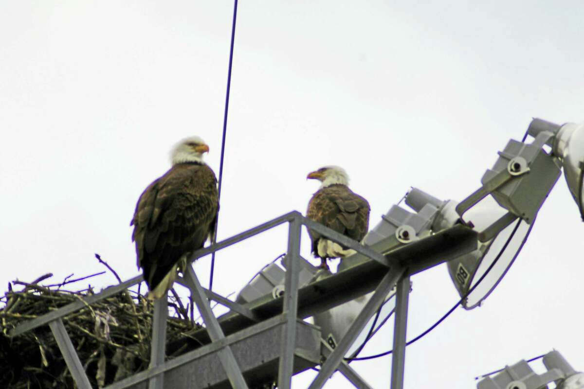 MELISSA NICEFARO — FOR THE REGISTER Eagles atop a lightpost at Yale Field.