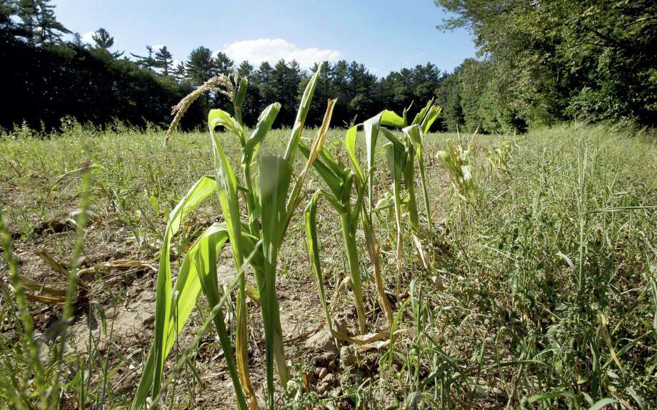 In this photo taken Friday, Sept. 2, 2016, dwarf corn stalks from lack of rain are seen in a field in Barnstead, N.H.  The drought in southern New England and dry spells this summer further north mean fall foliage could come earlier this year and not last as long in some areas. (AP Photo/Jim Cole) Photo: AP / Copyright 2016 The Associated Press. All rights reserved.