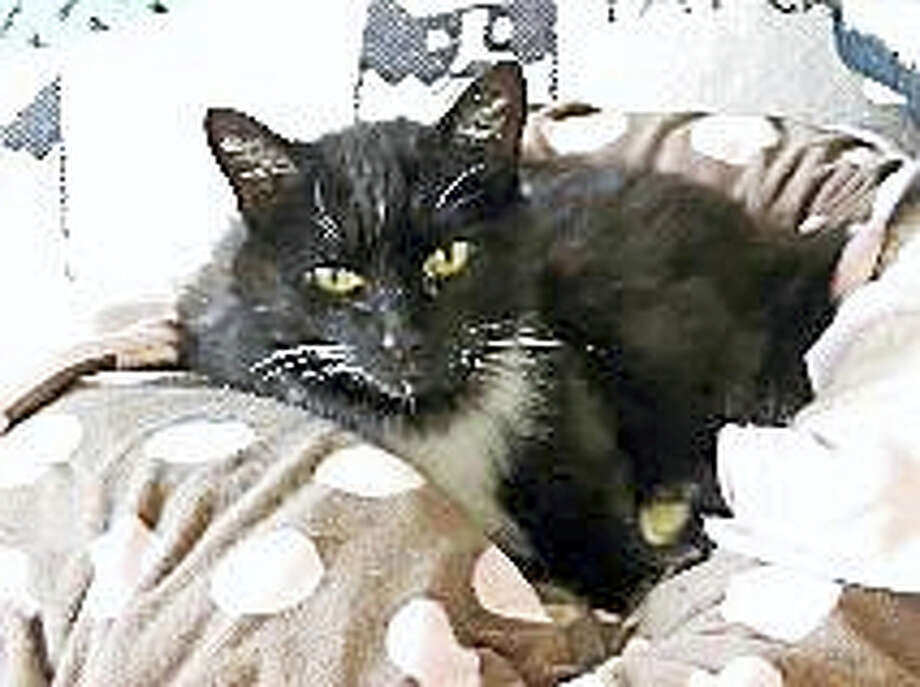 Gender:  FemaleBreed:  Domestic Short HairColor:  Black & WhiteAge:  12 years ?Hello! Are you looking for a new companion? I am a very friendly girl who loves to be held and would purr on your lap for hours. I want all your attention so am looking for a home where I can be the only pet. When my friends at Cat Tales rescued me, I was in such bad shape they did not think I would pull through. But I surprised them with my resilience. Now I am strong and healthy and ready for a new home. To stay healthy, I need to take thyroid medicine twice a day, but I make it easy. You can just mix it in my food. I also just had a full dental, so I am ready to go! Please come meet me to see just how sweet I am! I very badly need a furever home soon!! No Cats / No Dogs / No Children Web:  http://www.cattalesct.org/cats/heidi/Phone:  (860) 344-9043Email:  ??Info@CatTalesCT.org? Photo: Journal Register Co.