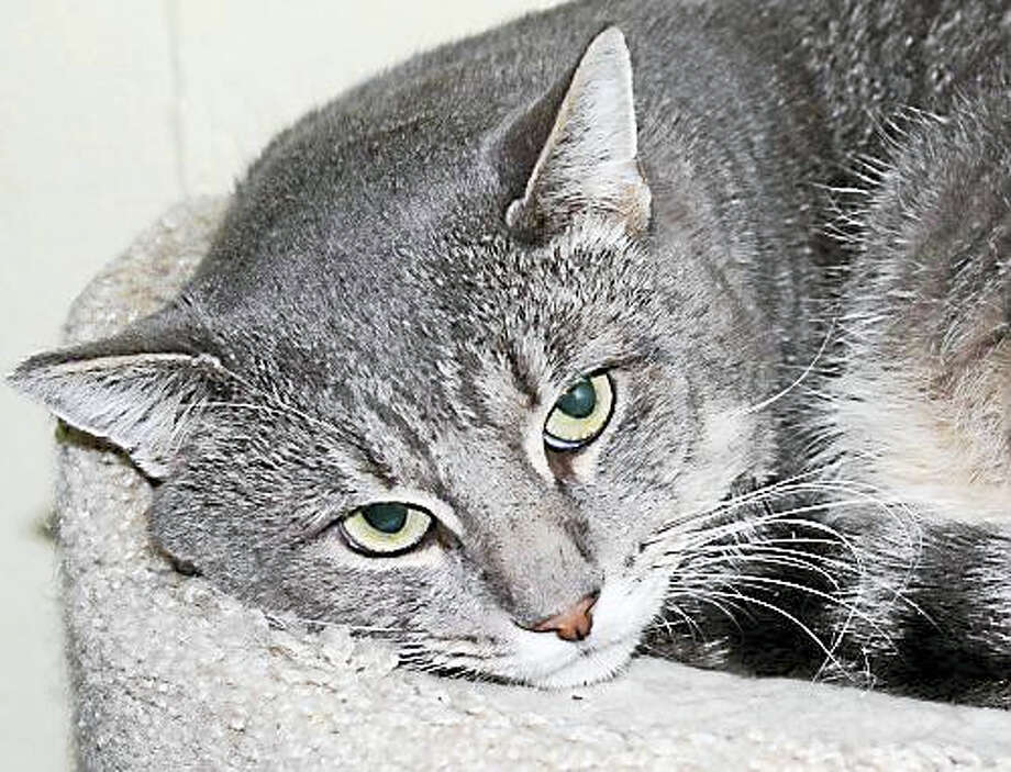 Gender:MaleBreed:Domestic Short HairColor:Grey TabbyAge:3 years I am a very handsome boy who is very sweet. I love to be pet and love attention. I would like a quiet home with a patient person and warm bed to sleep in. I'd love to lay on the couch with you and have a home of my own. I am FIV+. Humans cannot catch this and it is very difficult for other cats to catch. I would have to get in a fight with another cat where blood is exchanged for them to get FIV and I am not a fighter. I am a pretty mellow, loving boy. Please adopt me! No Dogs / No ChildrenWeb:  http://www.CatTalesCT.org/cats/Kent/Phone:  (860) 344-9043Email:  ??Info@CatTalesCT.org Photo: Journal Register Co.