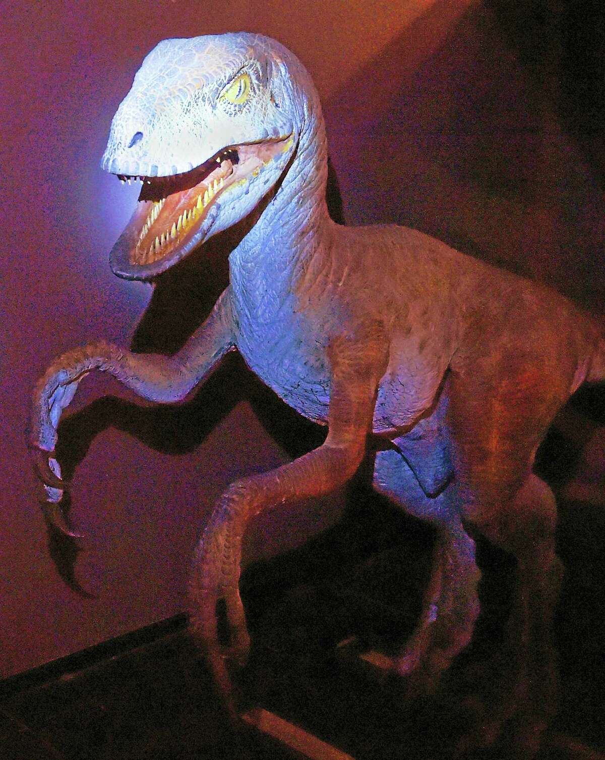 """A model of Steven Speilberg's velociraptor as seen in his movie """"Jurassic Park,"""" modeled after the Yale Peabody Museum of Natural History's Deinonychus, is part of the museum's 150 Anniversary celebration exhibit."""