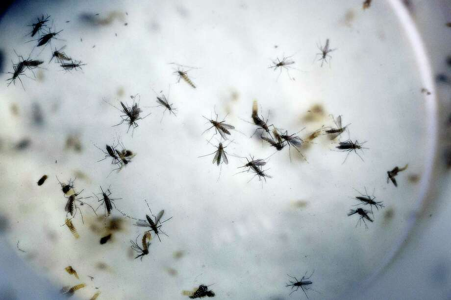 A Feb. 11, 2016 photo of aedes aegypti mosquitoes in a mosquito cage at a laboratory in Cucuta, Colombia. The World Health Organization says it may be necessary to use controversial methods like genetically modified mosquitoes to wipe out the insects that are spreading the Zika virus across the Americas. Photo: AP Photo/Ricardo Mazalan, File  / AP