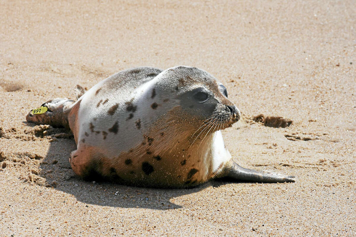 Mica, a harp seal, was released by a team from Mystic Aquarium