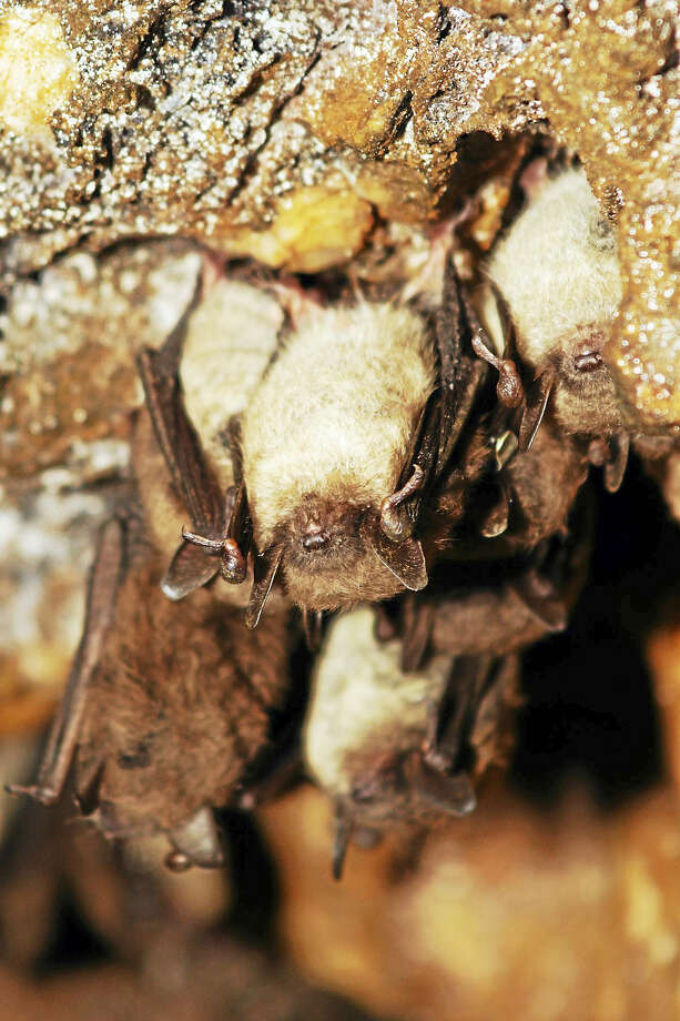 Several species of bats that call Connecticut home have been devastated by white-nose syndrome, so much so that in 2015 three species were listed as endangered on Connecticut's List of Endangered, Threatened and Special Concern Species. These species are the little brown bat (pictured), northern long-eared bat (also federally threatened), and the tri-colored bat. The eastern small-footed bat was also up-listed from special concern to endangered. Photo: Paul J. Fusco / CT DEEP-Wildlife