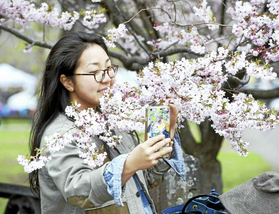 Mary Kim of New Haven takes a selfie by cherry blossoms during last year's Cherry Blossom Festival in Wooster Square. Photo: Arnold Gold — New Haven Register File Photo