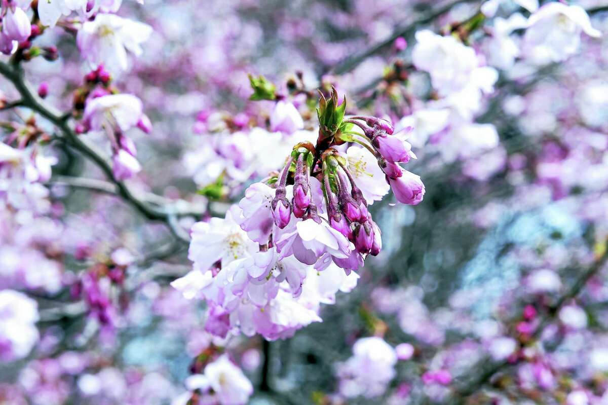 A cherry blossom tree blooms in Wooster Square at the corner of Chapel and Academy streets during last year's festival.