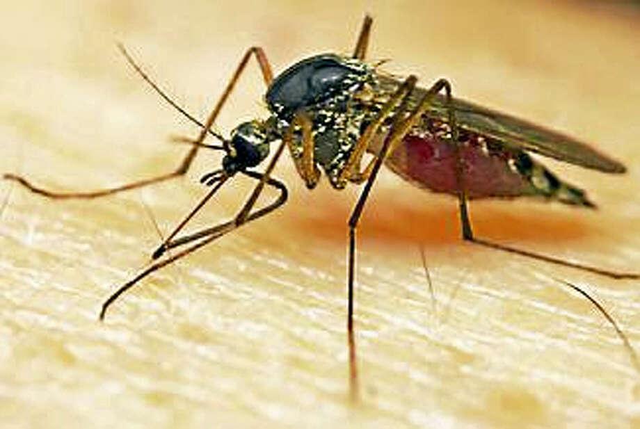 Zika-carrying mosquito. Photo: Shutterstock