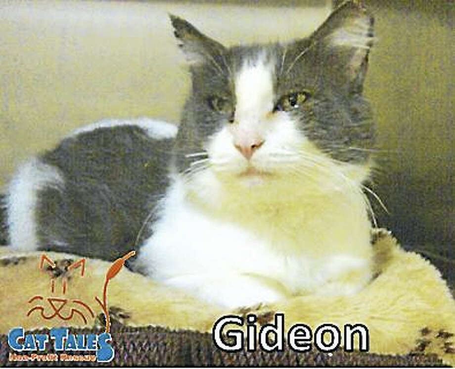 Gender: Male Breed:    DMH Color:    Grey & White Age:       3 years old  Hello, my name is Gideon! I am one of the greeters at Cat Tales and like to give little kisses as well. I just love to be pet and get all of the attention. Due to my rough life before coming to Cat Tales, I would prefer a home where it's a little less chaotic (so older children and none of those canine creatures). I'm ready to spend time with a new family lounging on a warm bed or relaxing on the couch with you. Please adopt me into your home!  No DogsNo Young Children  Web:   http://www.CatTalesCT.org/cats/GIDEON/ Phone:   860.344.9043 Email:   info@CatTalesCT.org Watch our TV commercial:  https://youtu.be/Y1MECIS4mIc Photo: Digital First Media