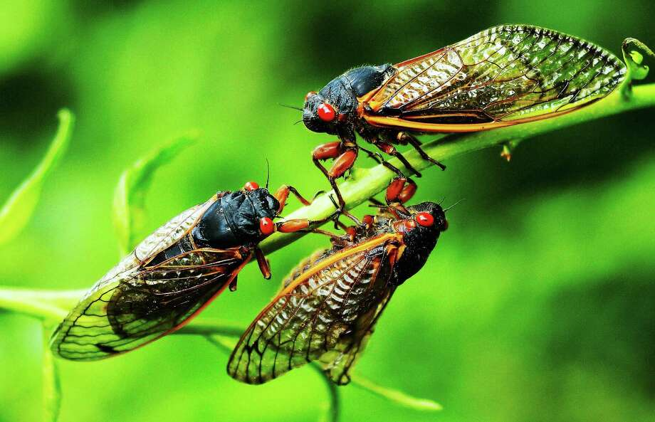 File photo of cicadas in Connecticut in 2013 Photo: Journal Register Co.