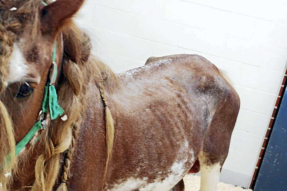 After his leased stallion Romeo was returned emaciated, horse owner Taylor Hanes immediately removed several of the mares and foals staying at Fairy Tale Equines in East Hampton. About 100 animals were seized by the state Feb. 2 for alleged neglect. Photo: CONTRIBUTED Photo