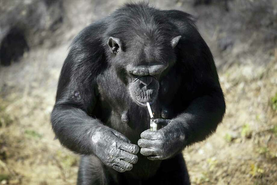 """Azalea, whose Korean name is """"Dallae"""", a 19-year-old female chimpanzee, lights a cigarette at the Central Zoo in Pyongyang, North Korea on Wednesday, Oct. 19, 2016. According to officials at the newly renovated zoo, which has become a favorite leisure spot in the North Korean capital since it was re-opened in July, the chimpanzee smokes about a pack a day. They insist, however, that she doesn't inhale. Photo: AP Photo/Wong Maye-E   / Copyright 2016 The Associated Press. All rights reserved."""