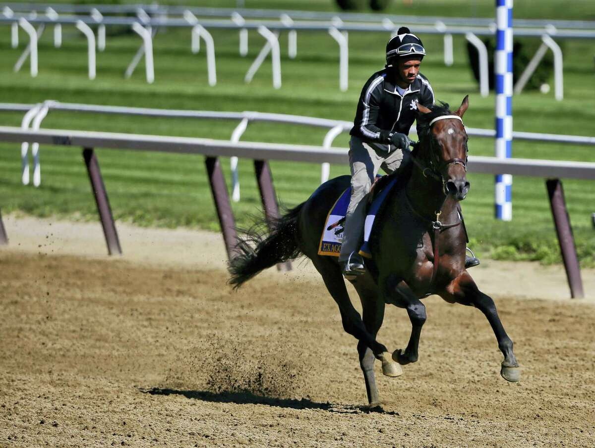 Belmont Stakes hopeful and Preakness Stakes winner, Exaggerator, with exercise rider Jermal Landry up, gallops around the main track at Belmont Park on Friday.