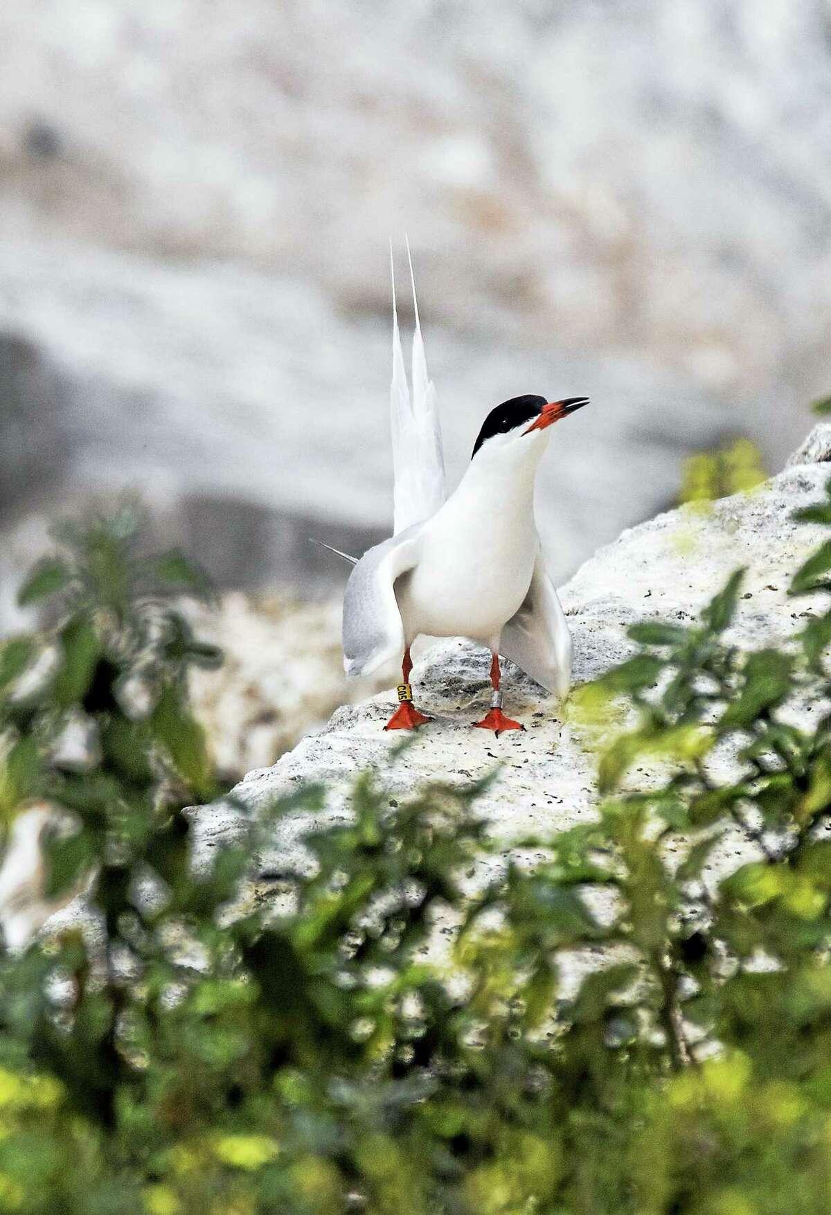 A Roseate tern at Gull Island seems unaware of camera