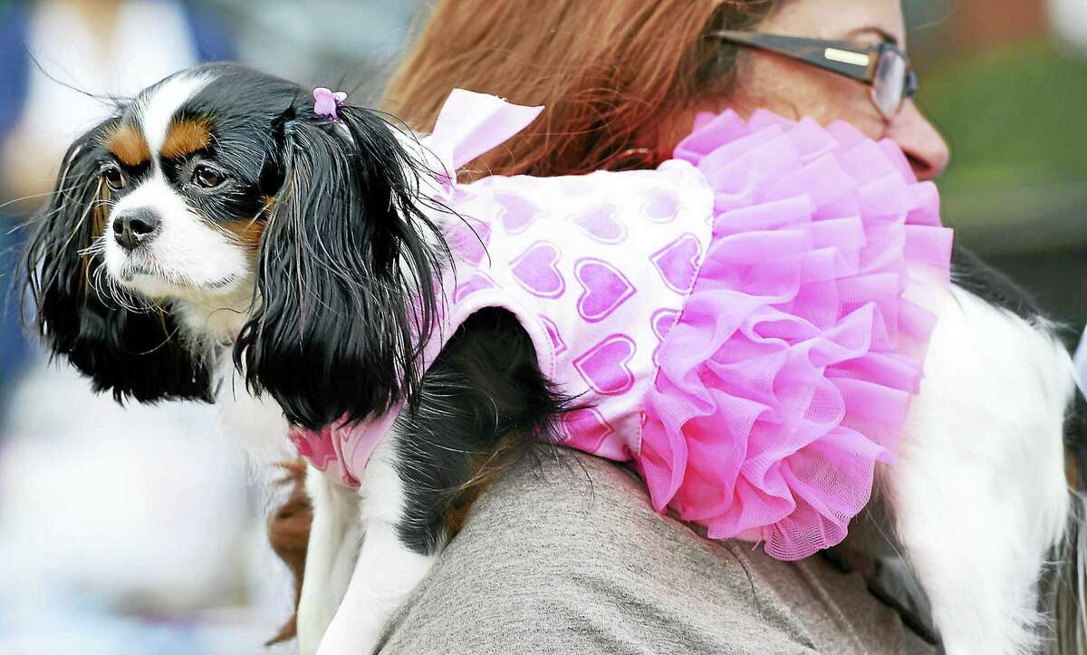 Kim Marcello of Branford holds her Cavalier King Charles Spaniel, Darla, dressed in a tutu at a past Woofstock on the Branford Green.