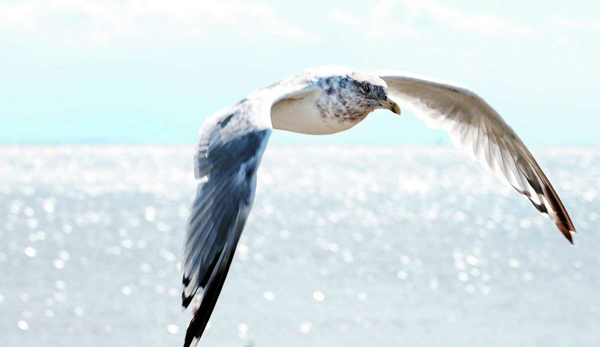 A seagull flies near the mouth of Milford Harbor.