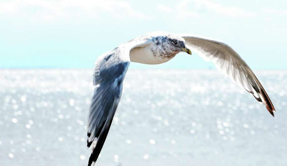 A seagull flies near the mouth of Milford Harbor. Photo: File Photo