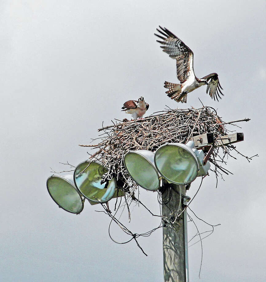 Ospreys have made a strong comeback in Connecticut and the state's Audubon Society is in need of volunteers to help track them. Photo: CONTRIBUTED Photo — Anastasia Zinkerman