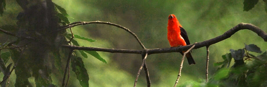 A scarlet tanager high in the trees Photo: File Photo  / York Sunday News