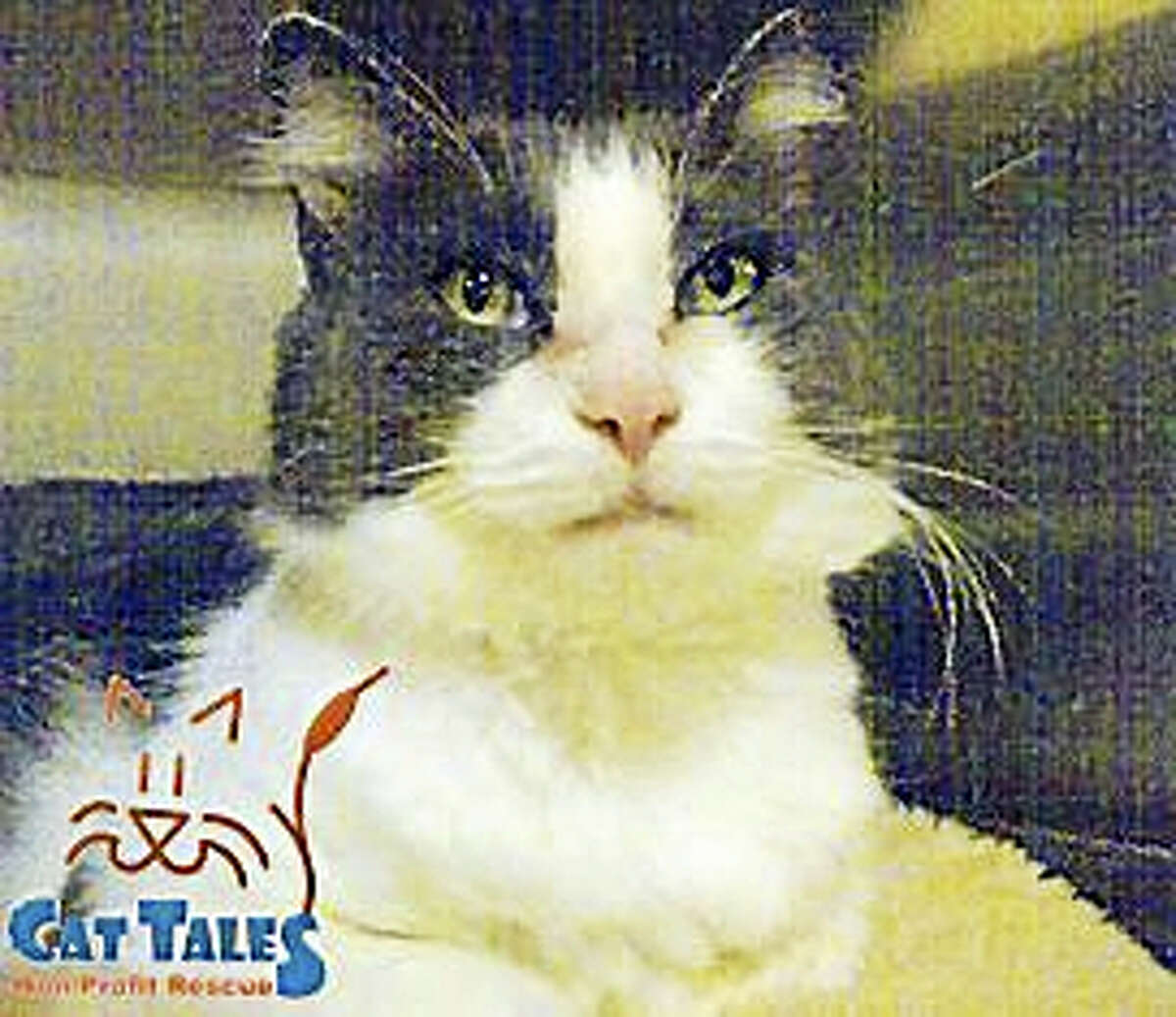 ?I am such a sweet boy who loves to be pet and loves attention. ?I'd let you pet me all day! I'd be good with children 10 or older. I'd love ?to snuggle in your warm bed ?with you? or to ?just ?lay on the couch ?next to you. I?t makes me so happy when you talk to me quietly and spend ??time with me. Please adopt me? today! No DogsNo Children? ?? ?Web: http://www.Cat TalesCT.org/cats/Gideon Phone: (860) 344-9043 Email: ??Info@CatTalesCT.org??
