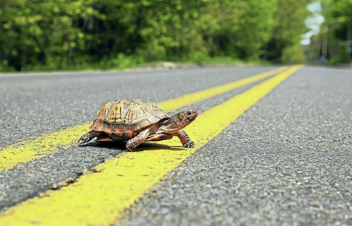 A turtle makes its way across a Connecticut road. (CT DEEP - Submitted Photo)