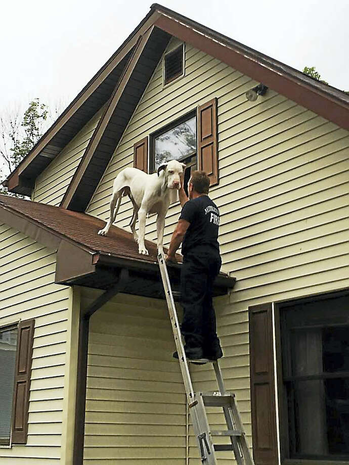 Members of the Middletown Fire Department rescued this Great Dane from the roof of a home Friday morning. Photo: Photo Courtesy Of The Middletown Fire Department