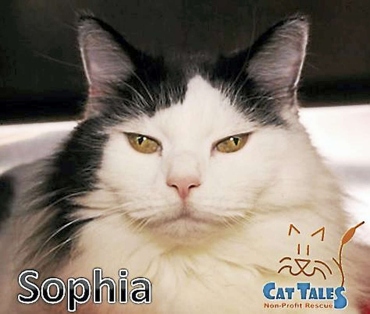 Gender: FemaleBreed: Domestic Long HairColor: Black & WhiteAge: 2 years oldHello, my name is Sophia. I was left on top of a dumpster in a cat carrier, abandoned. Thank goodness the right person found me and I was saved by Animal Control. I am such a sweet girl and very beautiful. I do need a quiet home with a patient person who will give me time to adjust to everything. I love to be pet and love lots of attention. I'd love to curl up with you on the couch or on your bed. I have so much love to give. I am fully vetted and ready to go home so please adopt me today!No Dogs / No ChildrenWeb: http://www.CatTalesCT.org/cats/SOPHIAPhone: (860) 344-9043Email: ??Info@CatTalesCT.org?See our commercial! https://youtu.be/Y1MECIS4mIc
