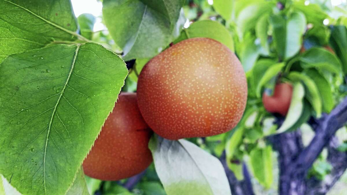 An Asian Pear from Lyman Orchards.