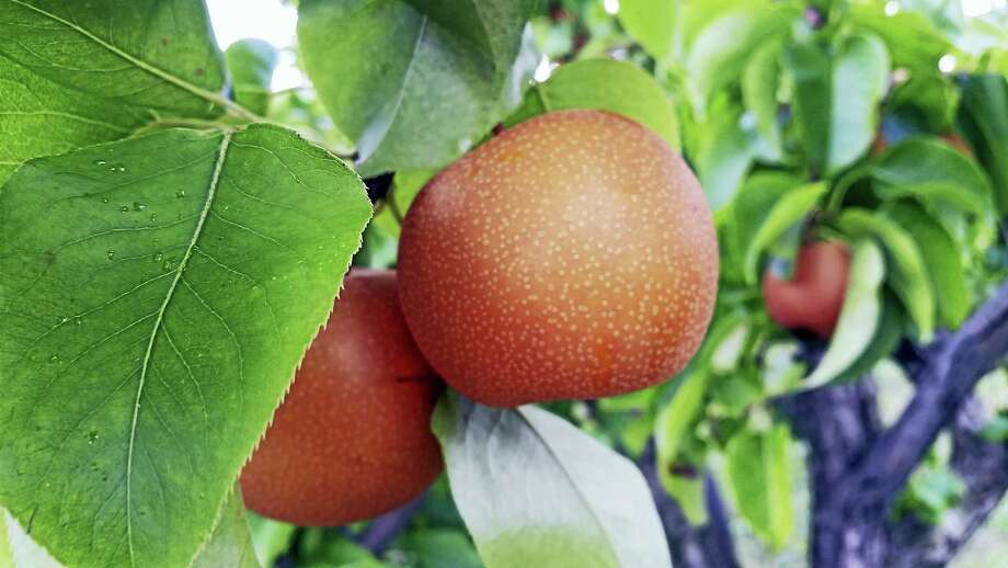An Asian Pear from Lyman Orchards. Photo: PHOTO BY JASON C. DIAZ - NEW HAVEN REGISTER