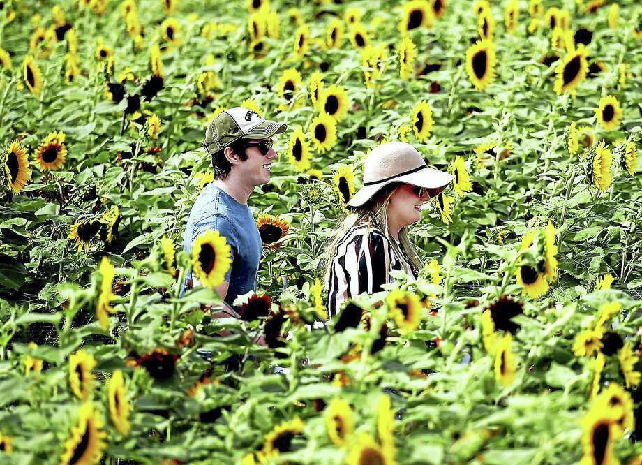 Catherine Blair and Brett Aiello, both of Wallingford, happy to see they reached the end of the Train Sunflower Maze at Lyman Orchards Tuesday in Middlefield. The train-themed maze is open from 9 a.m. to 5 p.m., seven days a week, until Aug. 28. Photo: Catherine Avalone — The Middletown Press  / New Haven RegisterThe Middletown Press