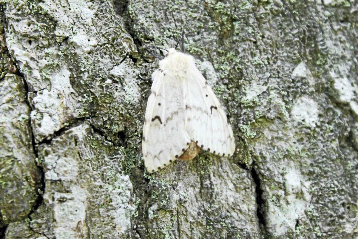 Gypsy moths are not native to Connecticut. White moths, like the one pictured here, are female and they cannot fly, while male gypsy moths are brown and can fly.