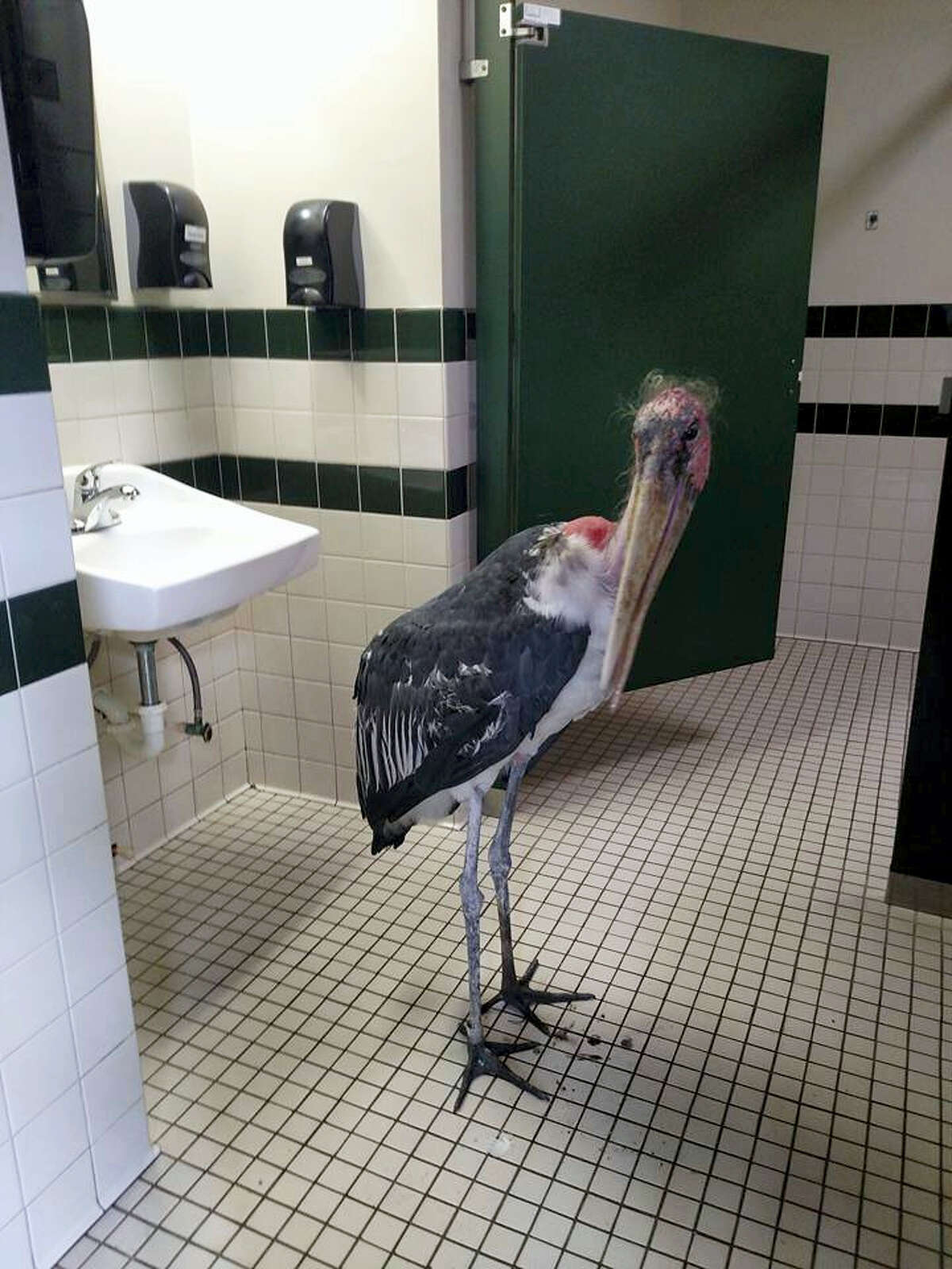 This Oct. 6, 2016, photo provided by the St. Augustine Alligator Farm and Zoological Park shows a marabou stork in a restroom at the facility in St. Augustine, Fla. The zoo said it moved all of its birds and mammals inside ahead of Hurricane Matthew's arrival.
