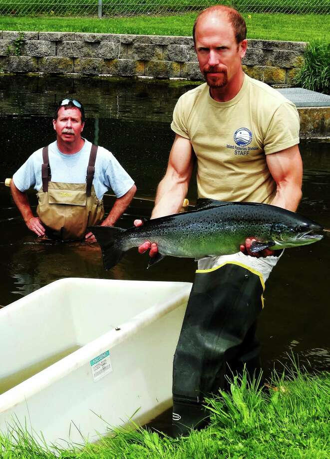 Tommy Fitzgerald (with salmon in hand) and Rick Napierski are shown at the State DEEP Kensington Hatchery in Berlin. Photo: File Photo