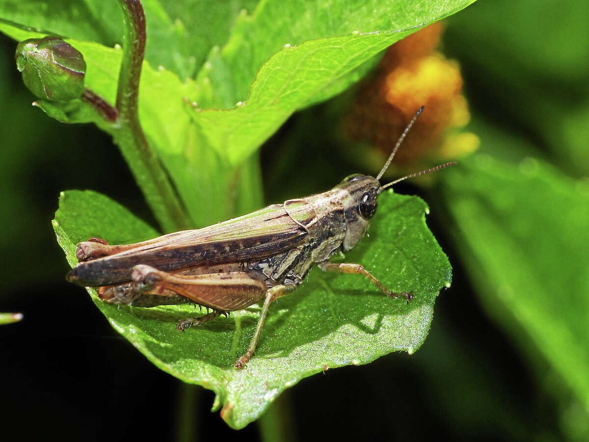 Crickets foil a parasitic fly by using a quick revolutionary trick. (Flickr/Hugo A. Quintero G).