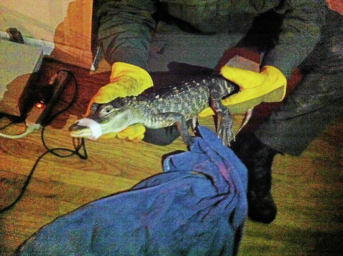 A small alligator was removed from a home in Middletown Thursday night, officials said.