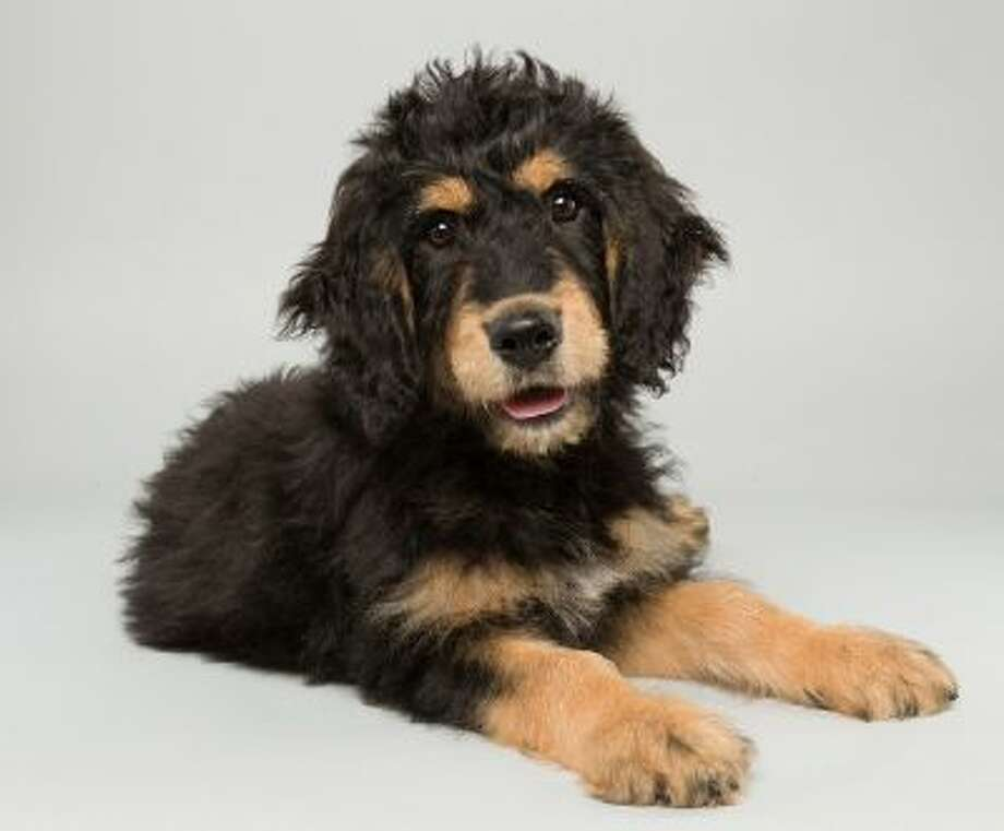 Bach, a 14-week-old Bernedoodle seen Oct. 3, 2013, is one of the starters in Puppy Bowl X, premiering Sunday on Animal Planet.