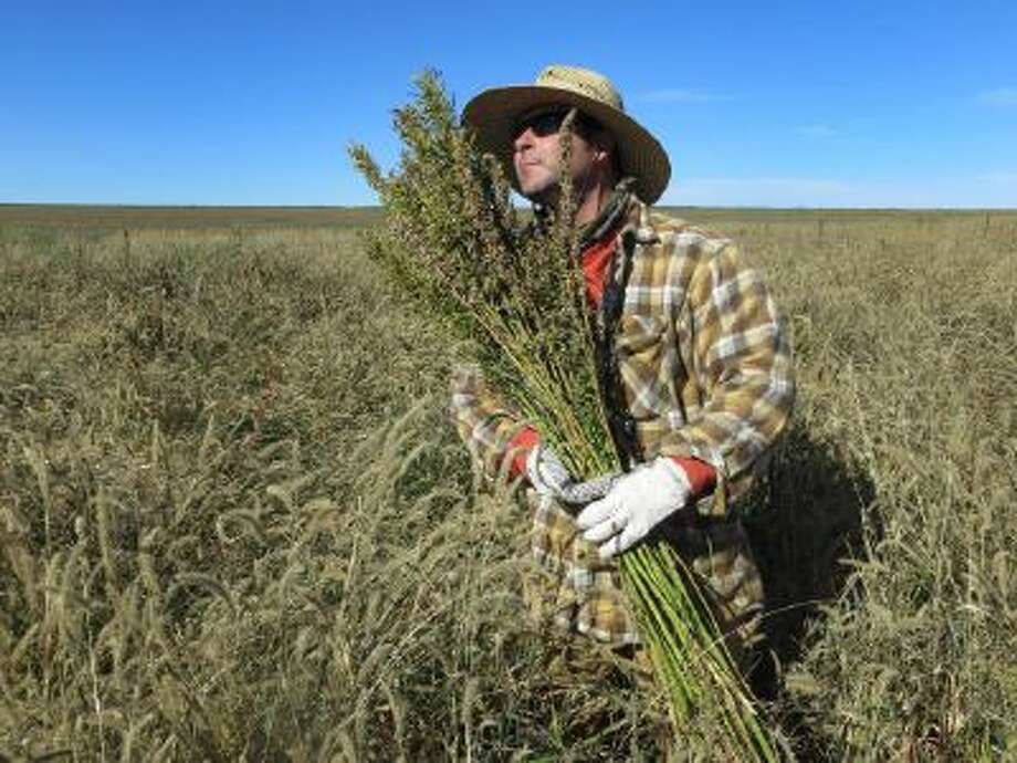 Hemp chef Derek Cross helps harvest hemp during the first known harvest of the plant in more than 60 years on Oct. 5, 2013, in Springfield, Colo.