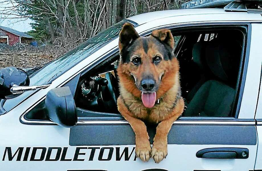 A police K-9 saved a woman with dementia this week in Middletown. Photo: Courtesy Middletown Animal Control