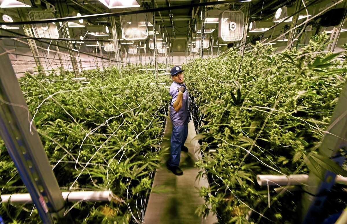 (Peter Hvizdak - New Haven Register) David Lipton, managing partner of Advanced Grow Labs, in a flower room at the plant.