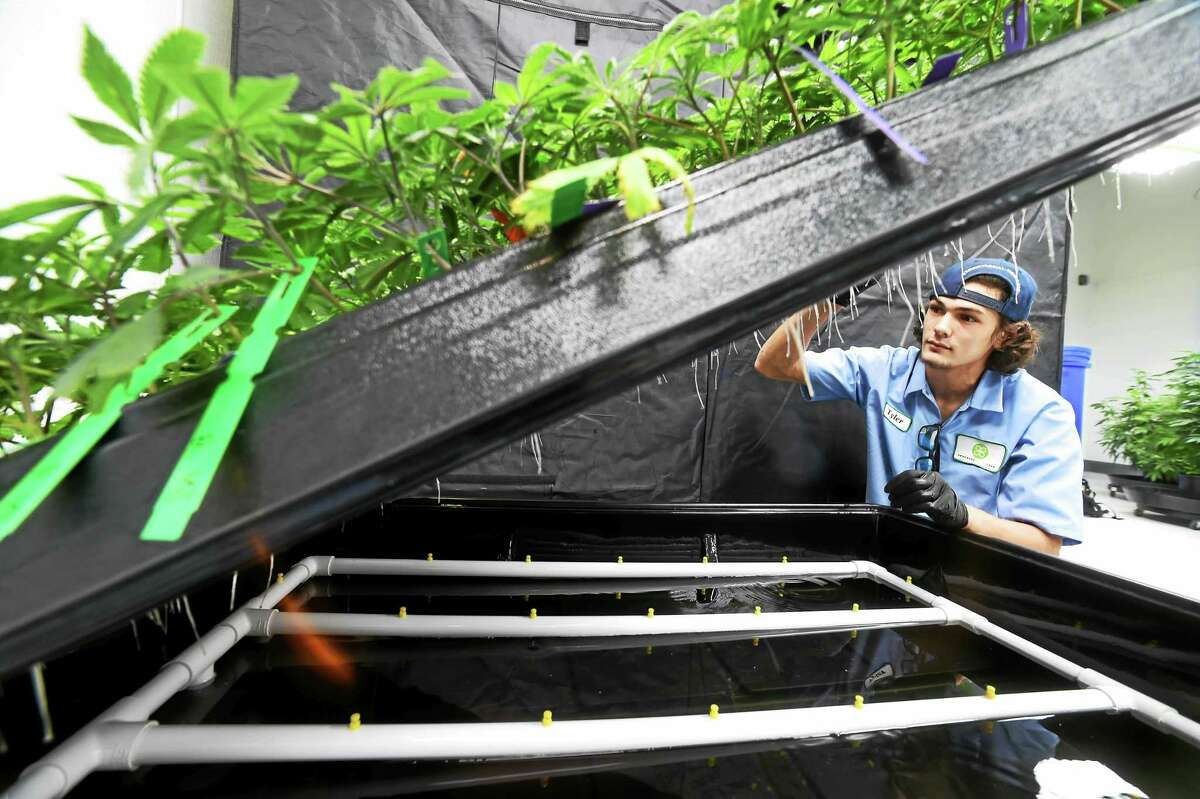 (Peter Hvizdak - New Haven Register) Tyler McKinley, a production assistant, maintains a hydroponic cloning system that grows marijuana plants from the cuttings of