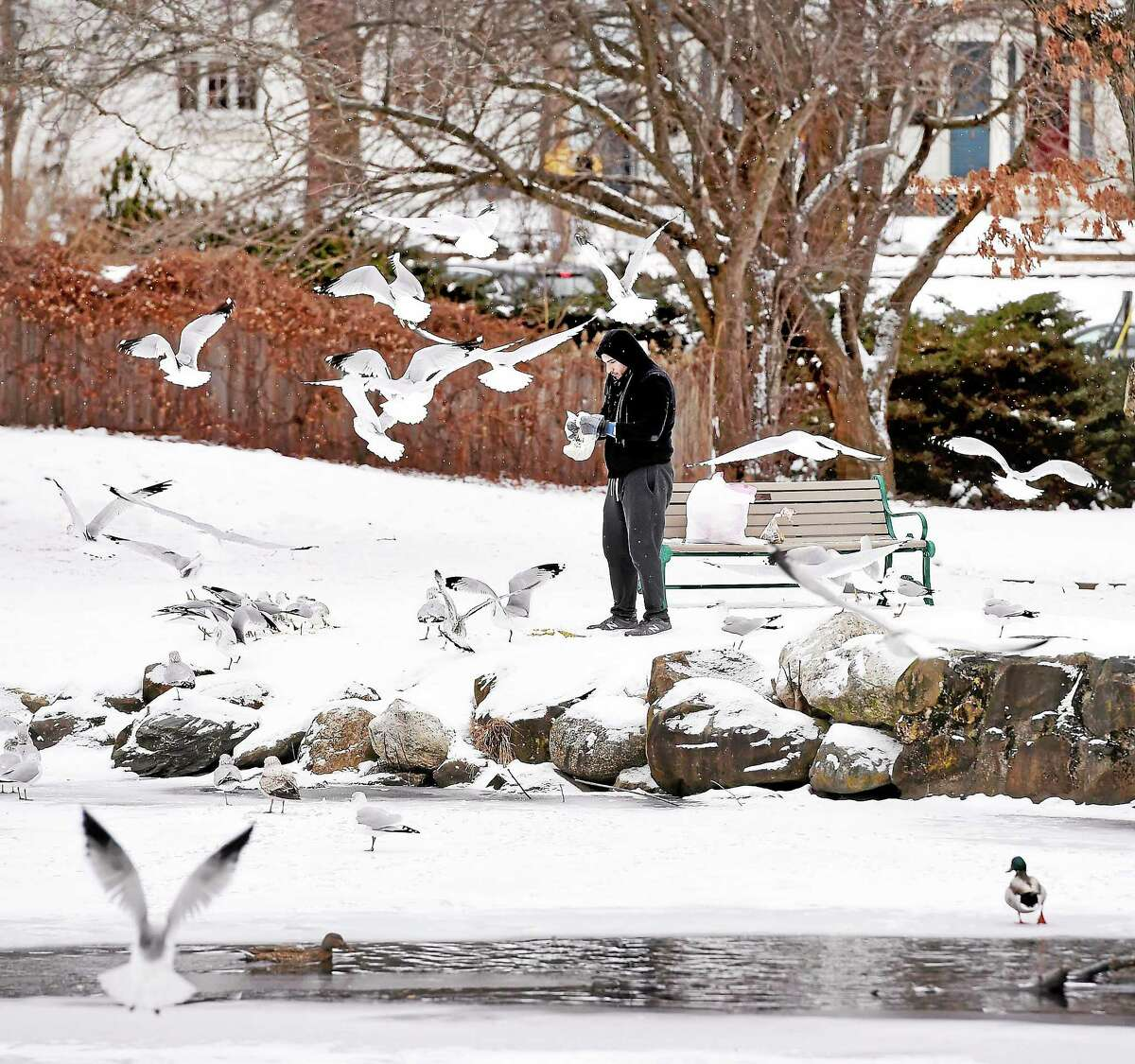 A man feeds gulls Monday at the Duck Pond behind City Hall in Milford.
