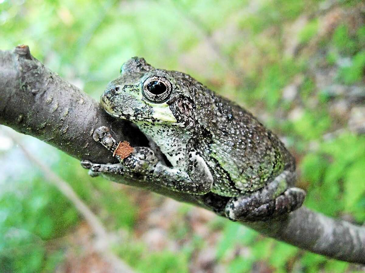 The gray treefrog is widely distributed in the state, but it has been declining since the 1930s, according to the Connecticut state Department of Environmental Protection. Middletown's Jonah Center for Earth and Art is hosting a public talk about the state's wildlife action plan.