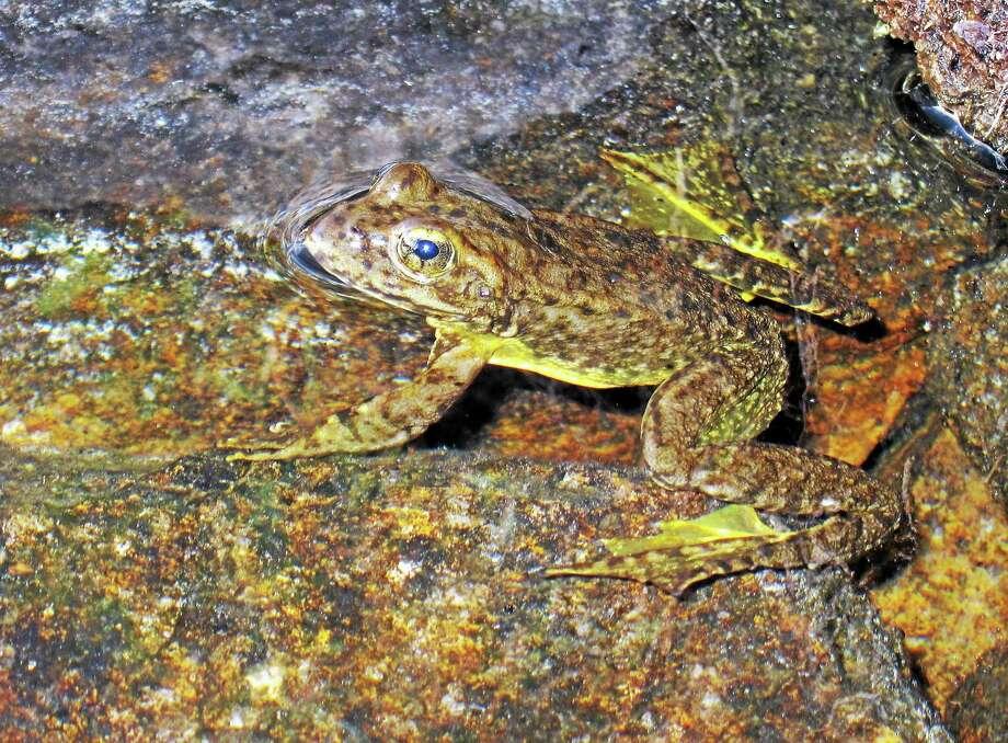 This photo shows a rare mountain yellow-legged frog seen in an alpine lake in Kings Canyon National Park, in California's Sierra Nevada. Photo: AP Photo/Brian Melley  / AP