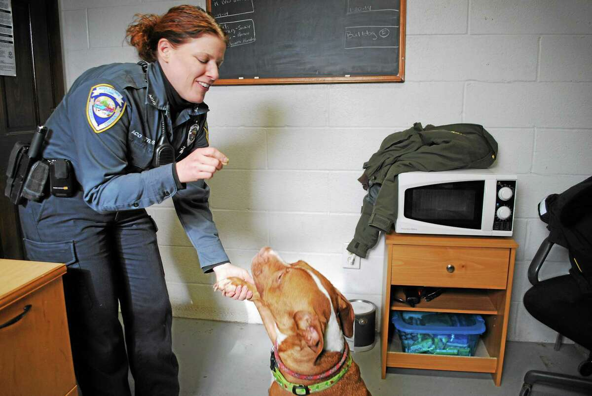 Middletown Animal Control Officer Gail Petras asks Bruiser to sit nicely at the Portland dog pound on Tuesday. The 4-year-old neutered pit bull is great with kids and is available for adoption by calling 860-638-4030. More pets available for adoption: media.middletownpress.com.