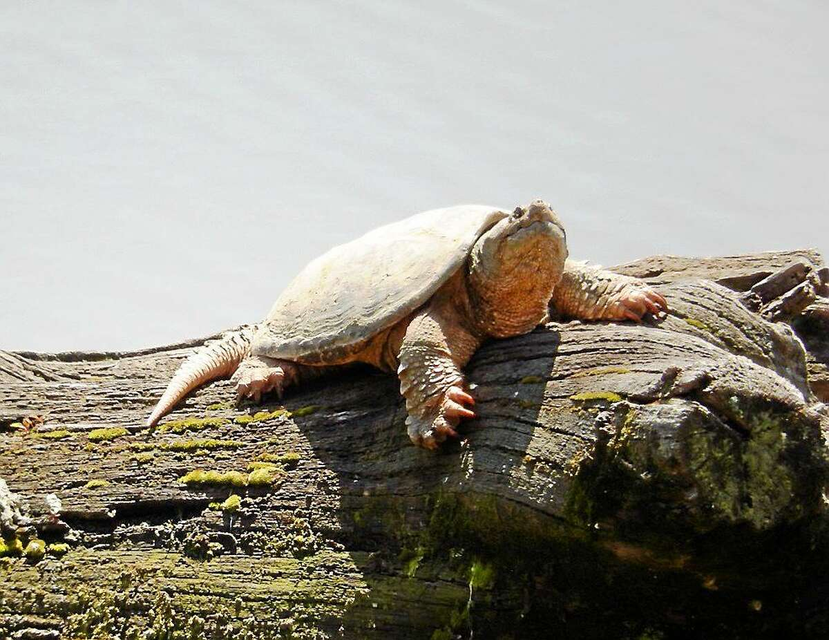 """Democratic state Rep. Matthew Lesser has introduced a bill for the January session with this stated purpose: """"To promote full legal equality for Connecticut's snapping turtles."""""""