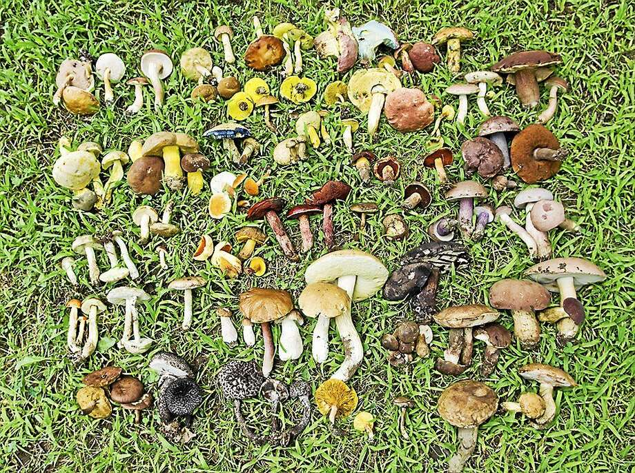 The Haddam Land Trust will host a mushroom foray at 9 a.m. on Saturday on the Pine Brook Preserve in Haddam Neck. The free event features expert mycologist Gerry Miller. Photo: Photo Courtesy Robert Durtelics