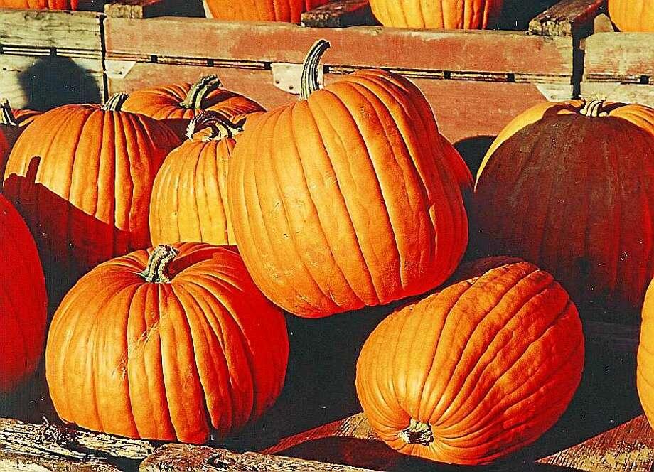 Farm-grown pumpkins in a bin Photo: Photo Courtesy Of Wikipedia