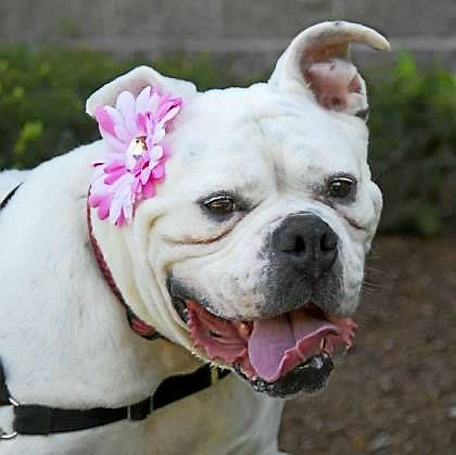 Ellie is an America Bulldog, 5-years-old and she can live in a single family home or condo. Ellie wants to live with kids over 12 years age, and she would prefer to be the only pet so she can get all the attention. Ellie is a high energy kind of dog and she is looking for a home where she can get lots of exercise every day.  This is a great dog with lots of potential for the family with Bully type of dog experience.  Remember, the Connecticut Humane Society has no time limits for adoption.  Inquiries for adoption should be made at the Connecticut Humane Society located at 701 Russell Road in Newington or by calling (860) 594-4500 or toll free at 1-800-452-0114.  The Connecticut Humane Society is a private organization with branch shelters in Waterford and Westport.  The Connecticut Humane Society is not affiliated with any other animal welfare organizations on the national, regional or local level. Photo: Journal Register Co.